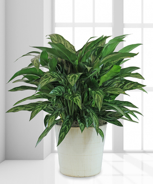 Tigress Chinese Evergreen