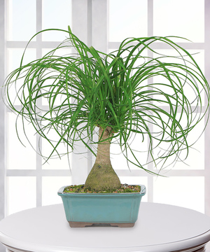 Ponytail Palm Plant